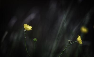Buttercup, yellow flowers, meadow, 4k