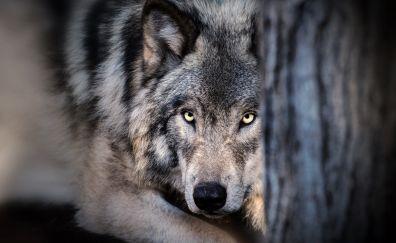 Wolf, muzzle, predator