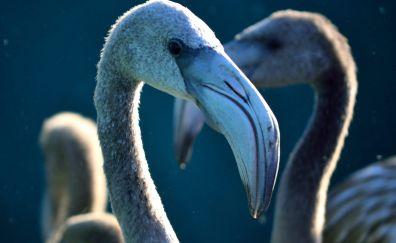 Flamingo, bird, beak, muzzle