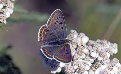 Lycaena tityrus, butterfly, insect