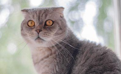 Orange eyes, stare, british shorthair