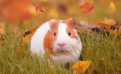 Cute, rodent, guinea pig, 5k