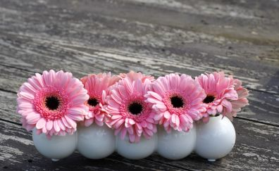 Pink daisy, flowers, glass vases