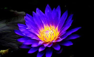 Blue water lily, bloom, flower, 4k
