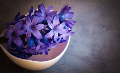 Hyacinth, purple flowers, backyard's pot, 4k