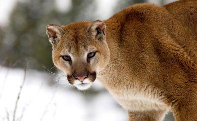 Wild cat, predator, Cougar, animal