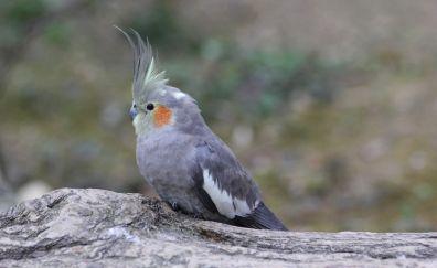 Cute bird, Cockatiel bird