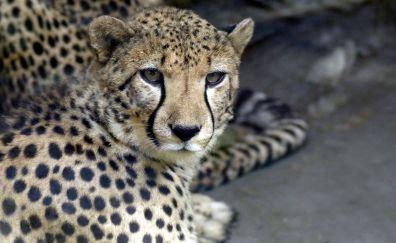 Cheetah, animal, stare, wildlife
