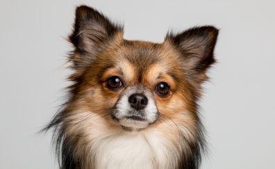 Chihuahua, dog, muzzle, 5k