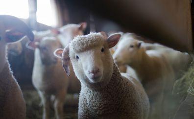 Sheep, cute, animal, stare, muzzle, 5k