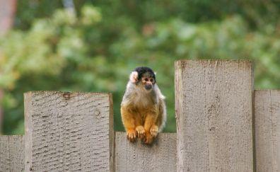 Squirrel monkey, animal, cute