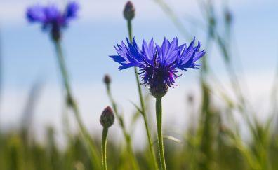 Blue, cornflower, plants, meadow, close up