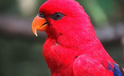 Parrot, red bird, orange beak