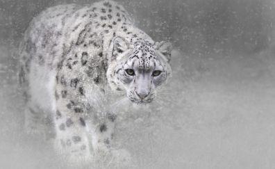 Snow leopard, monochrome