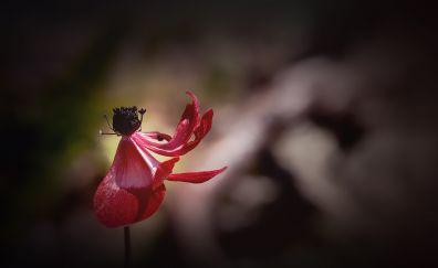 Anemone, red flower, bloom, blur