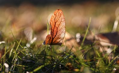 Autumn, meadow, dry leaf, close up