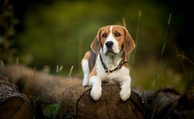Beagle, dog, calm, pet, outdoor