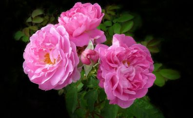 Deep pink roses, blossom, flowers