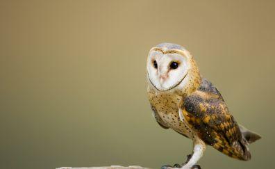 Barn owl, bird, predator