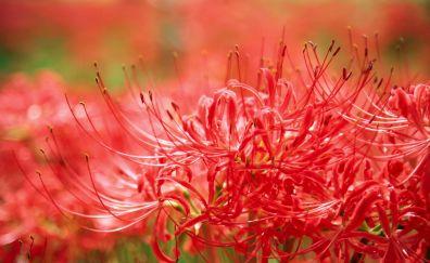 Amaryllis, red flowers, pollen, closeup