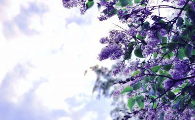 Lilac flowers, blossom, purple flower