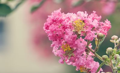 Lagerstroemia, pink flowers, blossom
