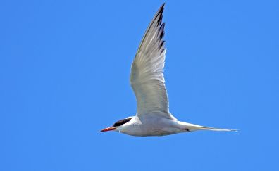 River tern, bird, wings