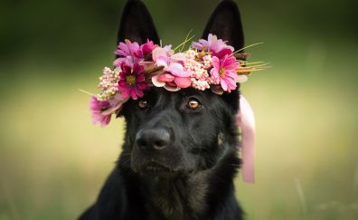 Muzzle, dog, German Shepherd, black dog