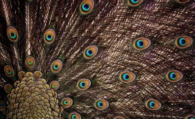 Peacock, feathers, plumage, colorful, 5k