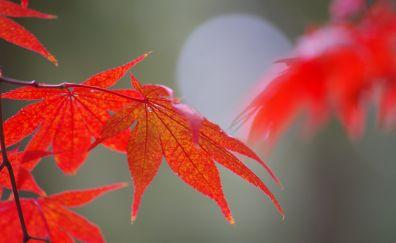 Red leaf, close up