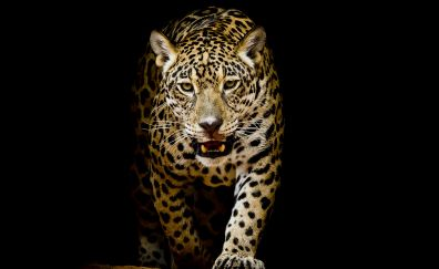 Leopard, predator, portrait, animal, 4k