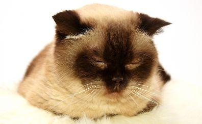 Cat, sleepy, closed eyes, muzzle, animal, 4k