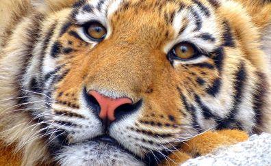 Tiger, muzzle, eyes, fur