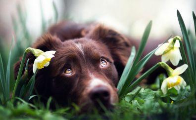 Brown dog, Australian shepherd, muzzle