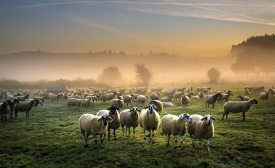 Sheep, animals, landscape, mist, fog
