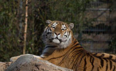 Tiger predator big cat