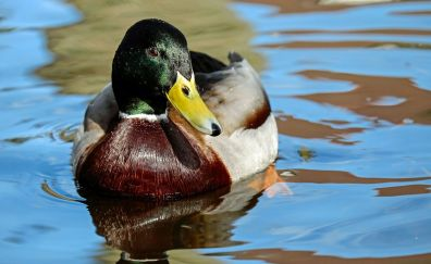Mallard duck bird, duck, swim