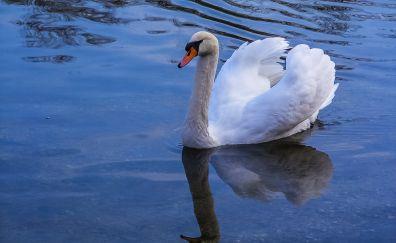 Swan, lake, water, reflections