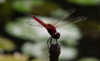Dragonfly, insect, wings, close up