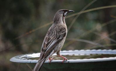 Wattlebird, wild bird, portrait