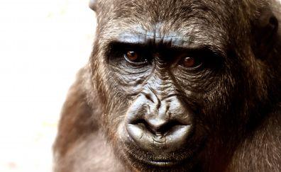 Gorilla, monkey, think, muzzle