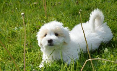 White cute dog, play, grass field