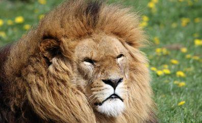 Beast of beasts, animal, lion muzzle