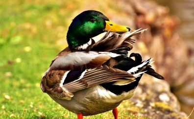 Mallard, colorful duck, feathers