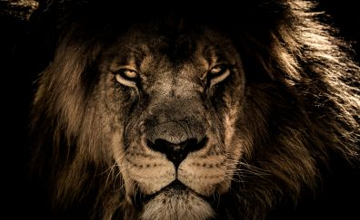 African lion, beast, muzzle, 4k