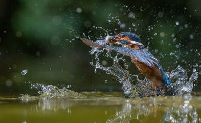 Water splashes, kingfisher, bird