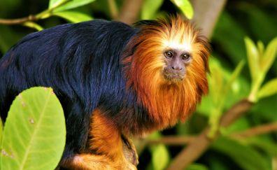 Golden-mantled Tamarin, monkey, animal