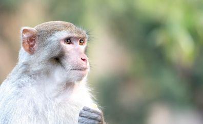 Monkey, ape, animal, muzzle, looking away