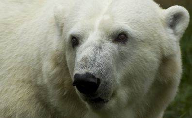 Polar bear, predator, muzzle