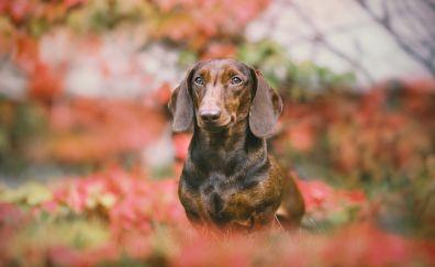 Dachshund, cute dog, blur, stare